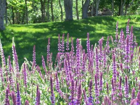 Purple Beauties - tall stalks of purple flowers
