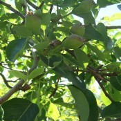 A pear tree with pear fruit.