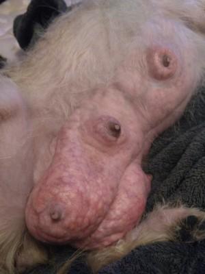 Dog Stopped Feeding Pups - engorged breasts on dog