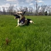Carmine (German Shepherd) - lying in the grass