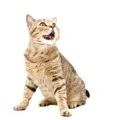 A meowing cat.
