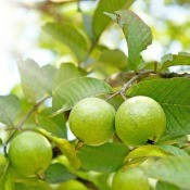 A guava tree with fruit.