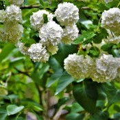 Snowball Bush - white flower clusters on a snowball bush