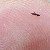 Small and long black bug on a finger.