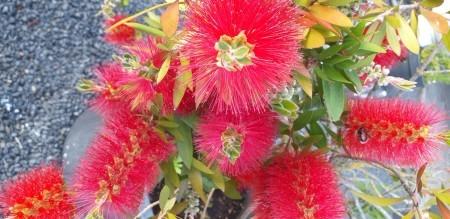Callistemon (Bottlebrush) - closeup of the beautiful red fuzzy flowers