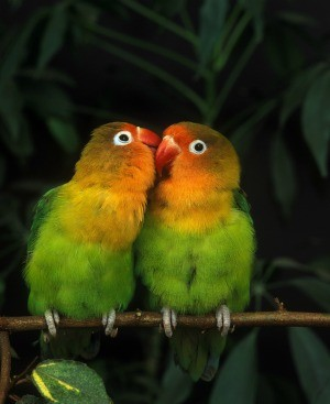 Two lovebirds sitting on a branch together.