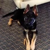 A German Shepherd puppy.