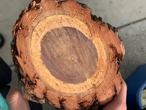 Selling Cut Pinewood? - closeup of a cross-section of a pine log
