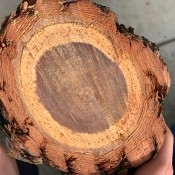Closeup of a cross-section of a pine log