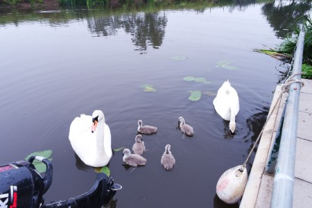 Swans with Their New Signets - pair of swans and their babies