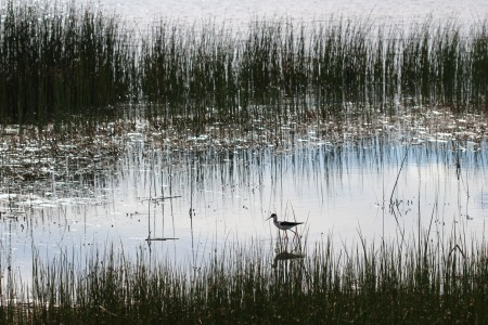 A bird walking in a marsh with tall grass.