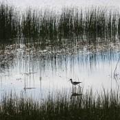 A bird walking in a marsh with tall grass.