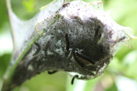 Caterpillar larva growing on a bush.