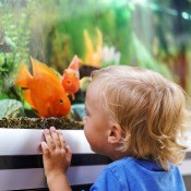 A young boy looking at an orange fish in an aquarium.