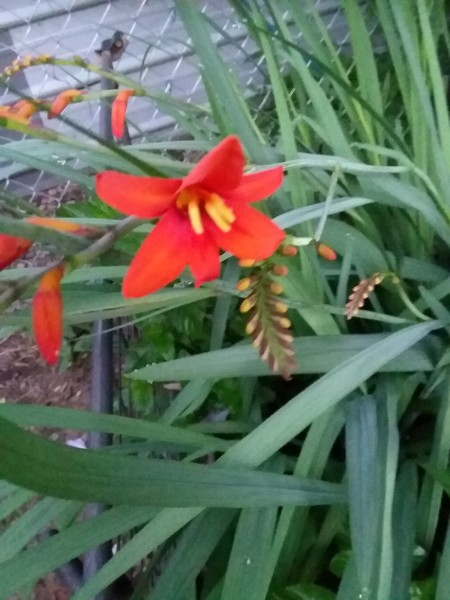 What Type of Flower Is This? - red crocosmia flower