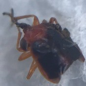 A close up of a small bug.