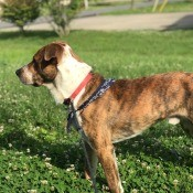 What Breed Is My Dog? - brindle and white dog