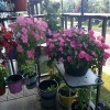 A Pop of Pink - Hanging Baskets - petunias and impatiens