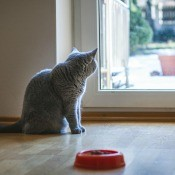 A cat ignoring his food bowl.