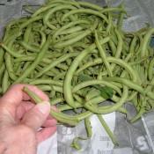 Fresh green beans from the farmer's market.