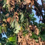 Avocado Tree Leaves Drooping and Turning Brown? - lots of brown leaves