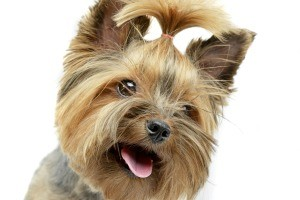 A yorkie with a top knot.