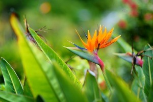 Tropical bird of paradise in bloom.