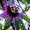A flowering passionfruit bush.