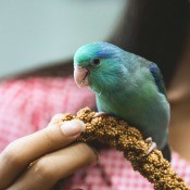 A pet bird and its owner.