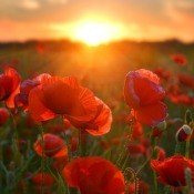 A field of poppies with a setting sun.