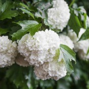 A snowball bush in bloom.