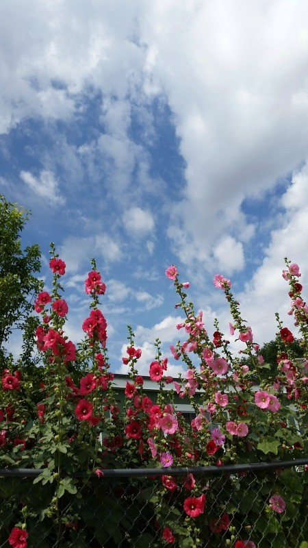 Hollyhock Sky - red or very dark pink and light pink hollyhocks against a cloudy blue sky