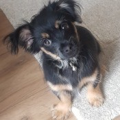 Is My Chihuahua Full Bred? - black and tan fuzzy puppy