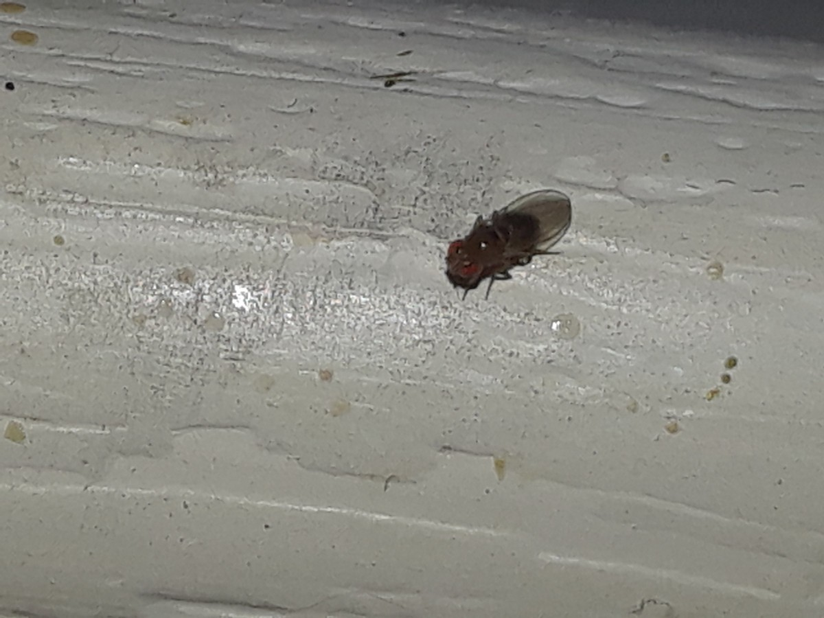 Tiny Flying Insects In Your House Thriftyfun