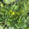 Identifying a Yellow Flowering Weed? - creeping buttercup