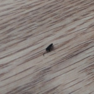 Identifying Tiny Black Bugs?  - bug on light floor