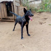 What Breed Is My Dog? - black dog with upright ears