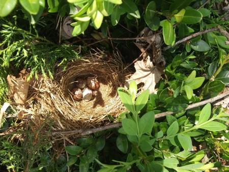 A nest containing house sparrow eggs.