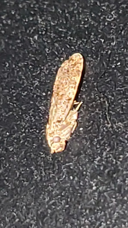 A yellow-brown winged insect on a black surface.