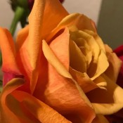 A yellow orange rose in a bouquet.