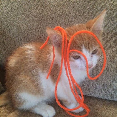A small orange and white kitten with yarn on it's head.