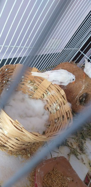 Finches Covered Their Eggs with Cotton? - finch in cage with a wicker nest with a layer of cotton over the eggs