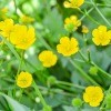 A field of yellow buttercups.