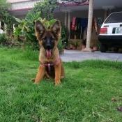 Is My Dog a German Shepherd?