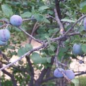 Pretty Purple Plums - purple plums on a roadside tree in Arizona