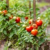Tomatoes growing in a garden.