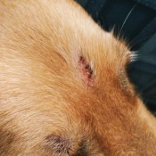Identifying and Treating Bumps on Dog's Head? - closeup of area
