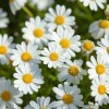 A garden bed of cheerful white daisies with yellow centers.