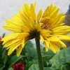 A twin yellow gerber daisy.