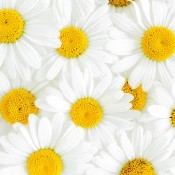 A collection of white daisies with yellow centers.